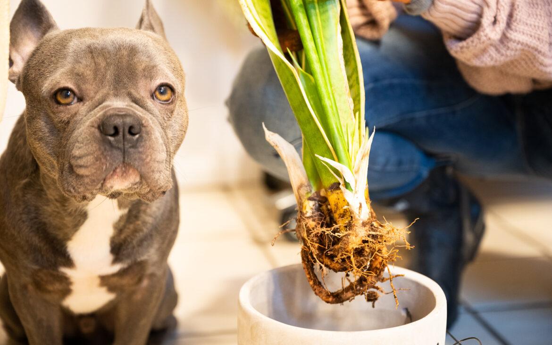 Bei Befall von Trauermücken oder Springschwänzen Zimmerpflanze austopfen und alte Erde und verrottete Teile entfernen